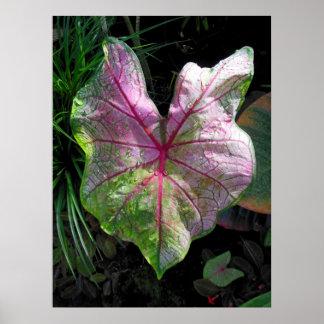 Caladiumcaladium, tropical, Havaí, botânico Pôster