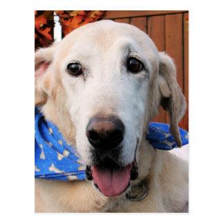 Callahan - Labrador amarelo Photo-5 Cartão Postal