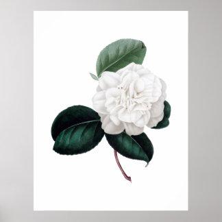 Camélia, flor branca, impressão botânico