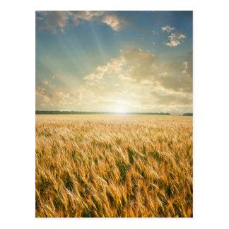 Campo de trigo no por do sol cartão postal