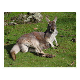 Canguru preguiçoso que olha o cartão postal