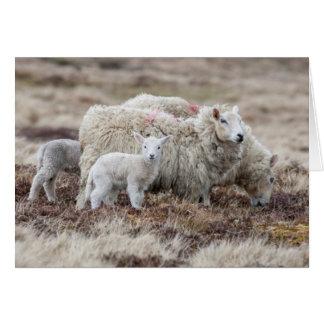 Carneiros 2 de Shetland Cartão Comemorativo