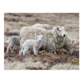 Carneiros 2 de Shetland Cartão Postal