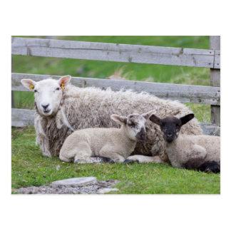 Carneiros 3 de Shetland Cartão Postal
