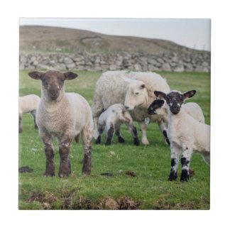 Carneiros 5 de Shetland Azulejo Quadrado Pequeno