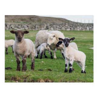 Carneiros 5 de Shetland Cartão Postal