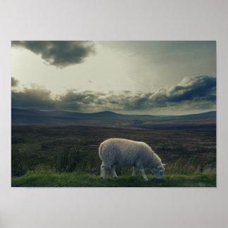 Carneiros/paisagem de Ireland Pôster