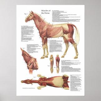 Carta do veterinário da anatomia do músculo do pôster
