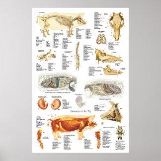 Carta do veterinário da anatomia do músculo pôster