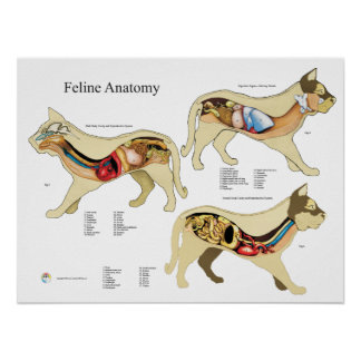 Carta do veterinário da anatomia do órgão interno pôster