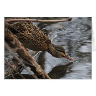 Cartão Água potável fêmea do pato selvagem