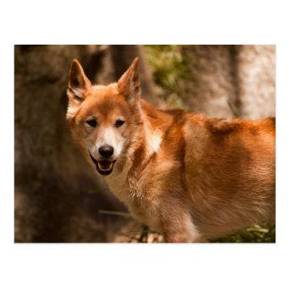 Cartão australiano do dingo