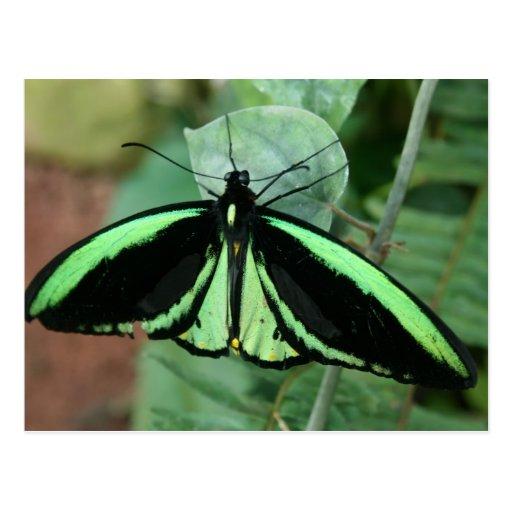 Cartão: Borboleta verde Cartões Postais