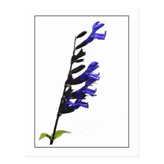 Cartão botânico azul de Salvia Photosketch
