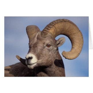 Cartão carneiros grandes do chifre, carneiros de
