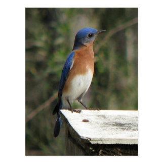 Cartão curioso do Bluebird