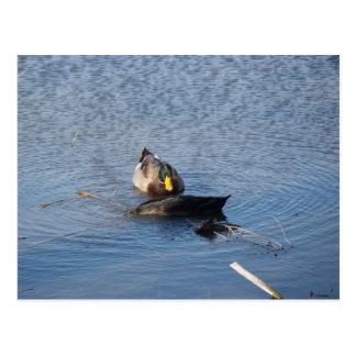 Cartão da foto do pato selvagem cartao postal