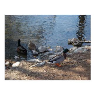Cartão da foto dos patos cartao postal