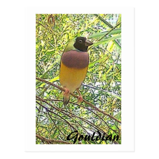 Cartão de Gouldian Cartoes Postais