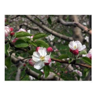 Cartão de Winchester VA de 02 flores de Apple Cartão Postal