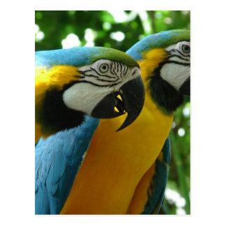 Cartão do Macaw do azul e do ouro