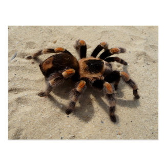Cartão do Tarantula de Flameknee do mexicano