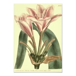 Cartão Ilustração com folhas longa do Amaryllis