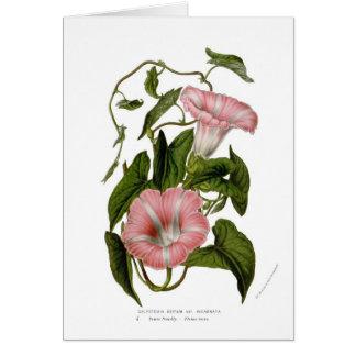 Cartão Incarnata das variedades do sepium do Calystegia