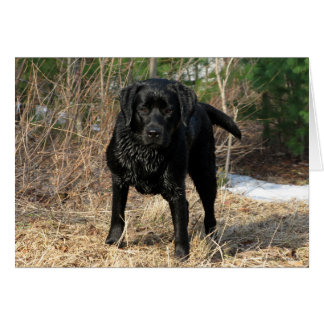 Cartão Labrador preto - caça adiantada do primavera