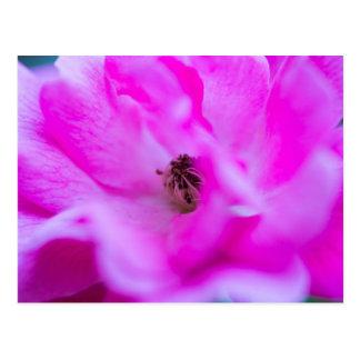 Cartão macro floral de Absract do rosa do rosa Cartão Postal