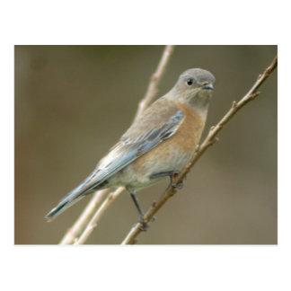 Cartão ocidental da fêmea 1 do Bluebird