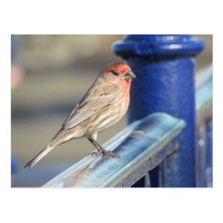 Cartão - pardal vermelho na cerca azul