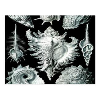 Cartão Postal A beleza do nurex dos mexilhões do marisco do