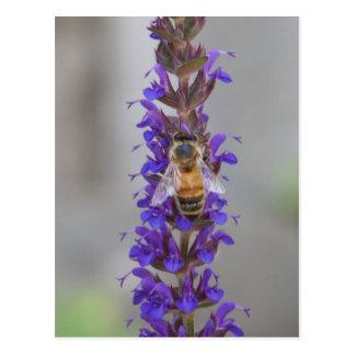 Cartão Postal Abelha do mel em Salvia