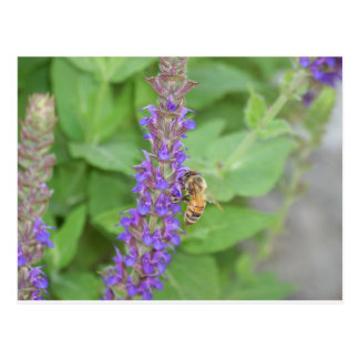 Cartão Postal Abelha em Salvia Officinalis