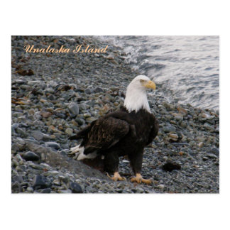 Cartão Postal Águia americana adulta na praia, ilha de Unalaska