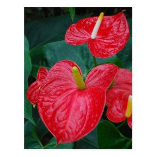 Cartão Postal Antúrio vermelho - flor tropical
