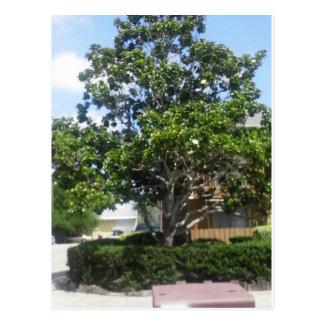 Cartão Postal Árvore Corpus Christi da magnólia, TX