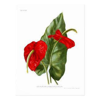 Cartão Postal Atrosanguineum do antúrio