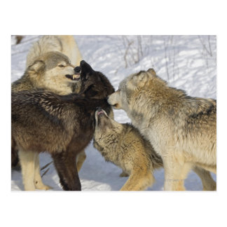 Cartão Postal Bloco dos lobos que interagem