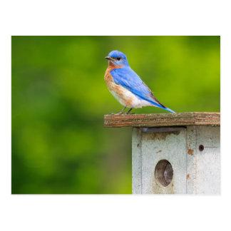 Cartão Postal Bluebird mim