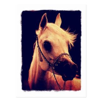 Cartão Postal Cavalo árabe em uma cabeçada da mostra