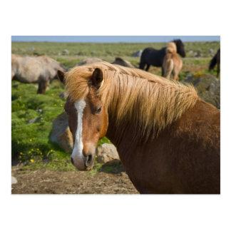 Cartão Postal Cavalos islandêses em Islândia do nordeste