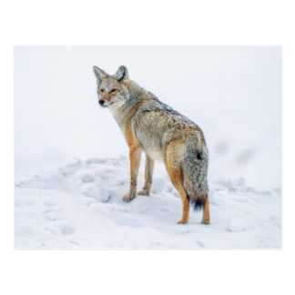 Cartão Postal Chacal no alerta na neve