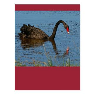 Cartão Postal Cisne preta