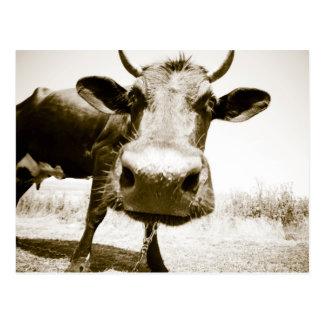 Cartão Postal Close up da vaca