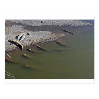Cartão Postal Crocodile River