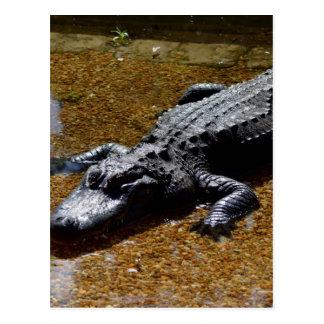 Cartão Postal Crocodilo