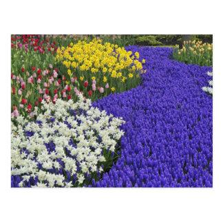 Cartão Postal Daffodils e jacinto de uva, Keukenhof 2