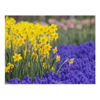 Cartão Postal Daffodils e jacinto de uva, Keukenhof 3
